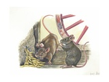 House Mice Mus Musculus Eating Corn in a Barn, Illustration Prints