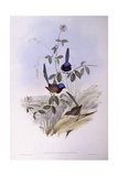 Blue-Breasted Fairywren (Malurus Pulcherrimus), Engraving by John Gould Posters
