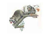Raccoons Procyon Lotor Eating Fruit on Branch, Illustration Prints