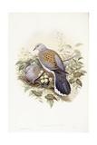 European Turtle-Dove (Streptopelia Turtur), Engraving by John Gould Prints