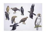 Illustrations of Eagles Kunstdrucke