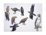 Illustrations of Eagles Prints
