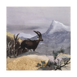Alpine Ibex (Capra Ibex), Illustration Poster