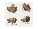 Zoology: Birds, Eurasian Black Vulture (Aegypius Monachus), Illustration Prints