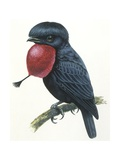 Birds, Passeriformes, Amazonian Umbrellabird, (Cephalopterus Ornatus), Illustration Posters
