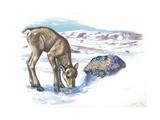 Young Reindeer Rangifer Tarandus, Illustration Print