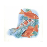 Goldfish Carassius Auratus, Illustration Poster