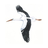 Birds: Ciconiiformes, White Stork (Ciconia Ciconia), Illustration Art