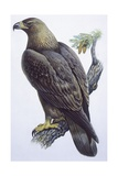 Zoology: Birds - Falconiformes - Golden Eagle (Aquila Chrysaetos). Art Work Print