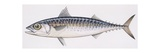 Fishes: Perciformes Scombridae, Chub Mackerel (Scomber Japonicus), Illustration Prints