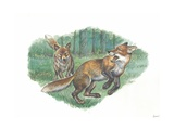 Red Foxes Vulpes Vulpes in Forest, Illustration Prints