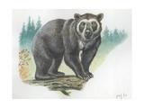Spectacled Bear Tremarctos Ornatus, Illustration Prints