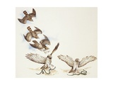 Zoology: Birds, Short-Toed Eagle (Circaetus Gallicus) Hunting, Illustration Prints