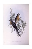 Fan-Tailed Cuckoo (Cacomantis Flabelliformis), Engraving by John Gould Poster