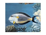 Side Profile of a Sohal Surgeonfish Swimming Underwater (Acanthurus Sohal) Posters