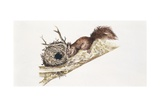 Eurasian Red Squirrel (Sciurus Vulgaris) Sitting in Tree with Nest, Illustration Prints