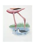 Greater Flamingo (Phoenicopterus Ruber) and a Red-Necked Phalarope (Phalaropus Lobatus) Posters