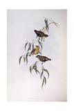 Spotted Pardalote (Pardalotus Punctatus), Engraving by John Gould Posters