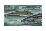 Freshwater Fishes in River, Illustration Art