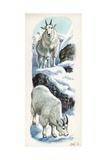 Mountain Goat Oreamnos Americanus, Illustration Posters