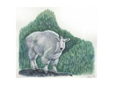 Mountain Goat Oreamnos Americanus, Illustration Poster