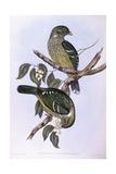 Green Catbird (Ailuroedus Crassirostris), Engraving by John Gould Posters