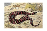 Close-Up of a Mountain Kingsnake (Lampropeltis Zonata) Prints