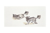 Four Gray Wolves (Canis Lupus), Illustration Print