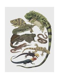 Close-Up of a Group of Squamata Reptiles Posters