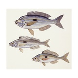 Fishes: Perciformes Centracanthidae - Picarel, Curled Picarel, Blotched Picarel Prints
