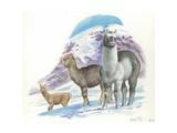 Alpaca Vicugna Pacos, Illustration Posters