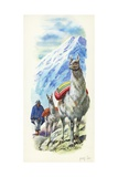 Llamas Lama Glama Used as Pack Animals, Illustration Prints