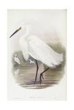 Little Egret (Egretta Garzetta), Engraving by John Gould Prints