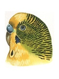 Birds: Psittaciformes, Budgerigar (Melopsittacus Undulatus) Head, Illustration Stampa