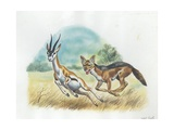Black-Backed Jackal Canis Mesomelas Hunting Antelope, Illustration Posters