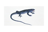 Ruin Lizard (Podarcis Sicula), Illustration Art