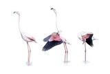 Birds: Phoenicopteriformes, American Flamingo (Phoenicopterus Ruber) Prints