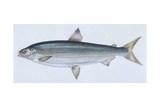 Fishes: Salmoniformes Salmonidae - Lake Whitefish (Coregonus Clupeaformis), Illustration Poster