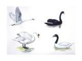 Mute Swan, Black Swan, Black-Necked Swan Prints