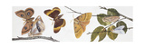 Butterflies Sexual Dimorphism, Illustration Art