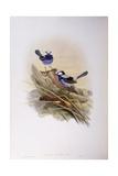 Splendid Fairywren (Malurus Splendens), Engraving by John Gould Posters
