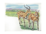 Couple of Kobs Kobus Kob, Illustration Print