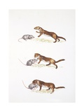 Ermine (Mustela Erminea) Hunting, Illustration Poster