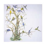 Birds: Psittaciformes, Budgerigar (Melopsittacus Undulatus) on Tree, Illustration Prints