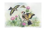 Goldfinches Carduelis Carduelis, Illustration Prints
