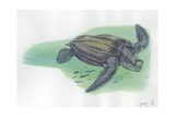 Leatherback Sea Turtle Dermochelys Coriacea, Illustration Posters