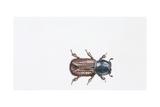 European Spruce Bark Beetle (Ips Typographus), Illustration Prints
