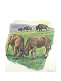 Young Male American Bison Bison Bison Fighting, Illustration Posters