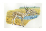 Rhim Gazelles Gazella Leptoceros, Illustration Prints
