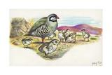 Rock Partridge Alectoris Graeca with Chicks, Illustration Posters